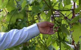 Причины горошения винограда — почему мелкие ягоды