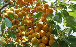 Сорта абрикоса для Подмосковья, в том числе зимостойкие, самоплодные, низкорослые