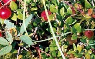 Почему клюква болотная плохо плодоносит в садах и как это исправить?