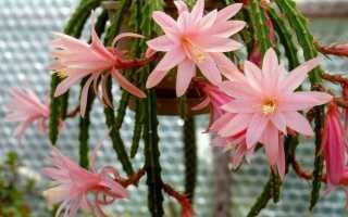 Эпифиллюмы — обильно цветущие лесные кактусы