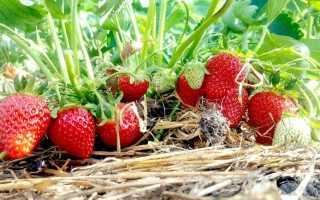 Уход за ремонтантной клубникой после первого сбора урожая и окончания плодоношения: что нужно делать