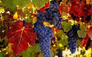 Винные сорта винограда, пригодные для выращивания в средней полосе РФ