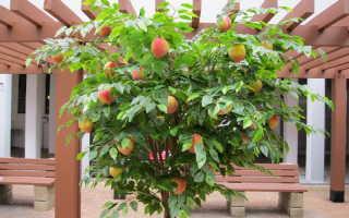 Прививка персика, в том числе весной, а также, какой подвой лучше использовать для окулировки