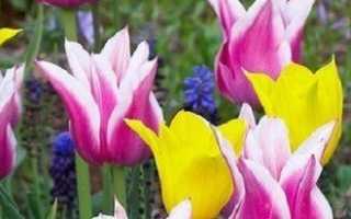 Разновидности и сорта тюльпанов