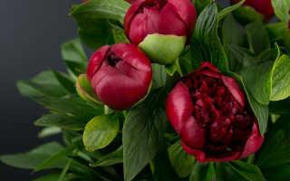 Красные пионы: подборка лучших сортов с фото