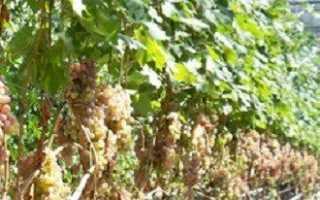 Виноград в теплице – в чем особенности выращивания?
