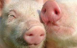 Выращивание свиней в домашних условиях — стоит ли шкурка выделки