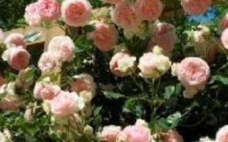 Вьющиеся плетистые розы — какие бывают сорта и где лучше всего их посадить