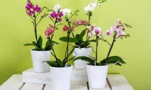 Орхидеи: виды и правила подкормки