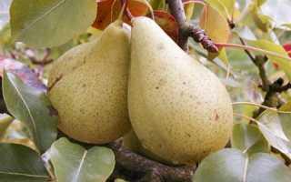 Сорт груши Кюре, описание, характеристика и отзывы, особенности выращивания