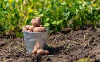 Что посадить после картофеля на следующий год