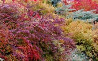 9 кустарников с самой красивой осенней листвой в моем саду