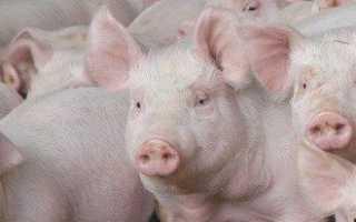Содержание свиней в домашних условиях и грамотный уход — важные правила