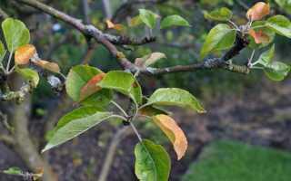 Опадают листья у яблони летом: причины, как бороться