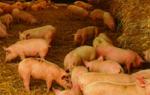 Выращивание свиней по новым технологиям