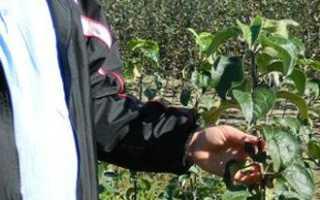 Обрезка яблонь осенью, когда и как правильно обрезать яблоню