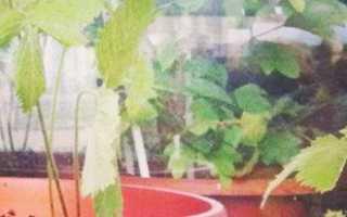 Выращивание земляники в домашних условиях на балконе или подоконнике