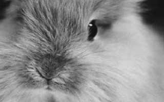 Ангорский кролик не требует особого ухода, надо знать несколько правил