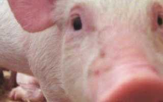 Африканская чума свиней — симптомы и последствия