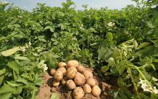 Китайский метод посадки картофеля: основные правила