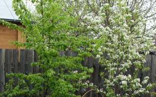 Груша не цветет: почему, что делать