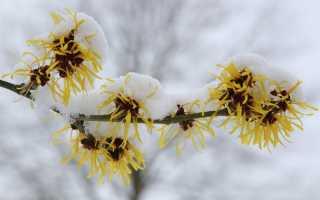 Какие растения в саду могут выпустить почки перед зимой и почему