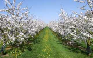 Когда сажать вишню, весной или осенью