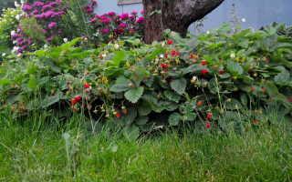 Клубника (земляника) Руяна: описание сорта, фото, отзывы, особенности ухода, выращивания из семян