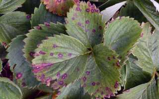 Ржавчина на листьях клубники: причины появления, что делать