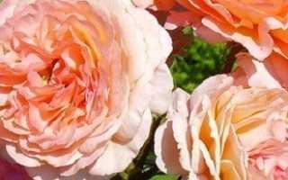 Разновидности роз — какие бывают маленькие, миниатюрные и др.
