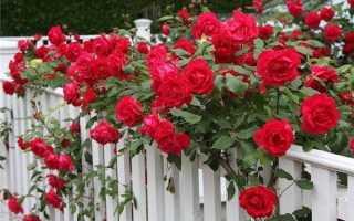 Лучшие быстрорастущие вьющихся цветы для забора, арок и шпалер на даче