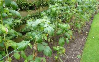 Уход за малиной после сбора урожая