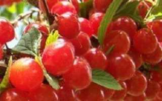 Выращивание вишни — как правильно это сделать