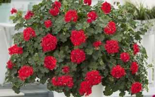 Растения, которые хорошо подходят для размещения в кашпо и контейнерах