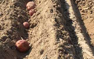 Технология посадки картофеля или посадка картофеля в открытом грунте