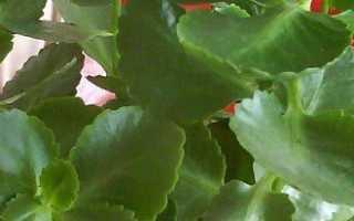 Почему не цветет каланхоэ – поиск причин и их устранение + Видео
