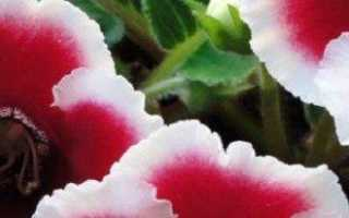 Любимица цветоводов глоксиния — уход в домашних условиях от А до Я
