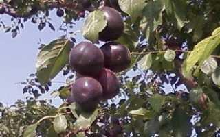 Абрикос черный принц и другие черноплодные сорта