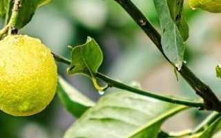 Пересадка лимона в домашних условиях – пошаговая инструкция