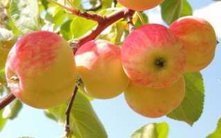 Почему опадают яблоки с яблони раньше поспевания, что делать с опавшими плодами, можно ли закладывать в компост