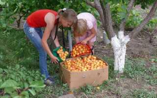 Уход за абрикосом в разных регионах, как спасти дерево от весенних заморозков и другие особенности