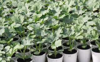 Выращивание рассады арбузов: посев и уход за рассадой