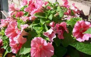 Моя прекрасная петуния, или Какие гибриды я выращиваю на балконе?