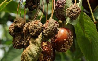 Вредители и болезни вишни: описание и способы лечения