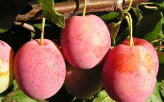 Сорт сливы Болховчанка, описание, характеристика и отзывы, особенности выращивания