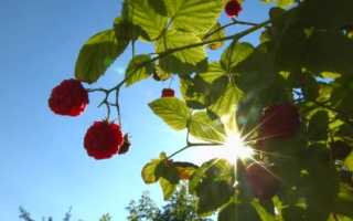 Малина любит солнце или тень — где лучше сажать кусты