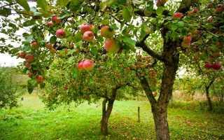 Чем и как подкармливать яблони и груши летом для большого урожая: схема внесения удобрений