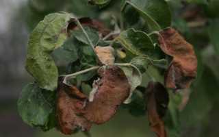 Сохнут листья на яблоне: причины, что делать
