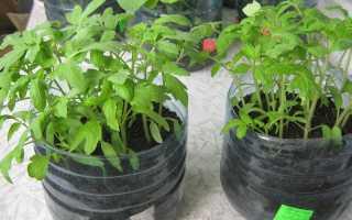 Рассада помидоров в пятилитровых бутылках без пикировки