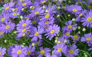 Брахикома: описание, выращивание из семян, фото